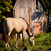 play Jigsaw: Horse Grassing