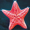 play Red Sea Star Slide Puzzle