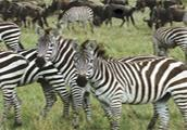 Zebra Rescue game