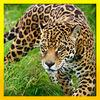play Ultimate Wild Life Jaguar: Simulation