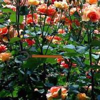play Blossom Rose Garden Escape