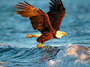 Animals Jigsaw Puzzle Eagle game